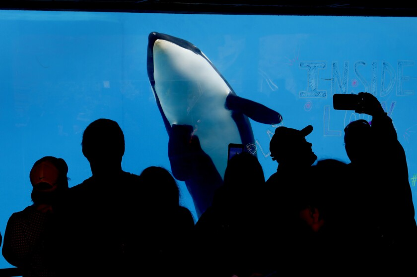 3069345_sd_fi_seaworld_insidelook_killer_whales_NL San Diego, CA January 12, 2019 SeaWorld att