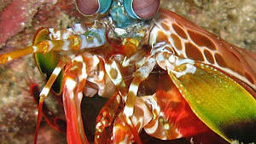 The peacock mantis shrimp's 2/10-inch-wide fist accelerates faster than a .22-caliber bullet, reaching speeds of 45 mph underwater and smacking its prey with 200 pounds of force.