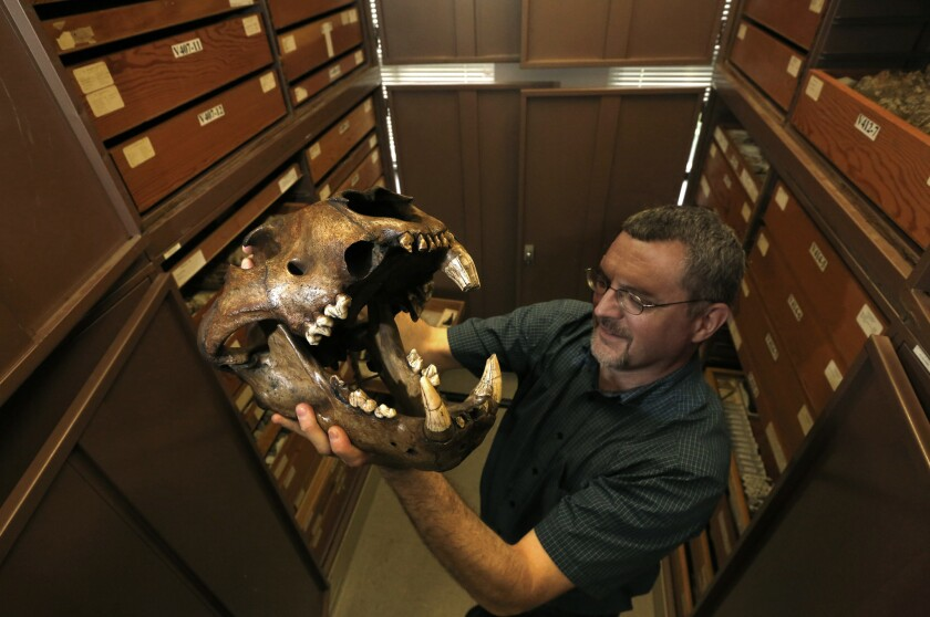 Paleontologist Robert Dundas holds an ancient tiger skull, part of the vast collection of La Brea Tar Pits artifacts stored in the UC Berkeley bell tower.