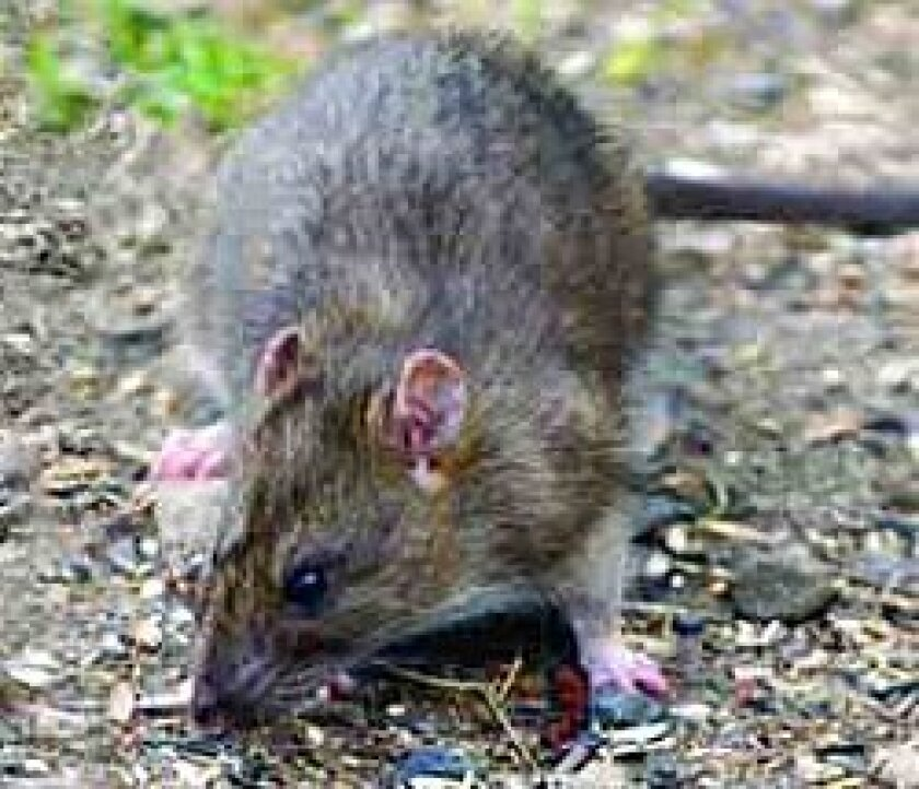 Claims of rat infestations around California have become part of the struggle over legislation in Sacramento.