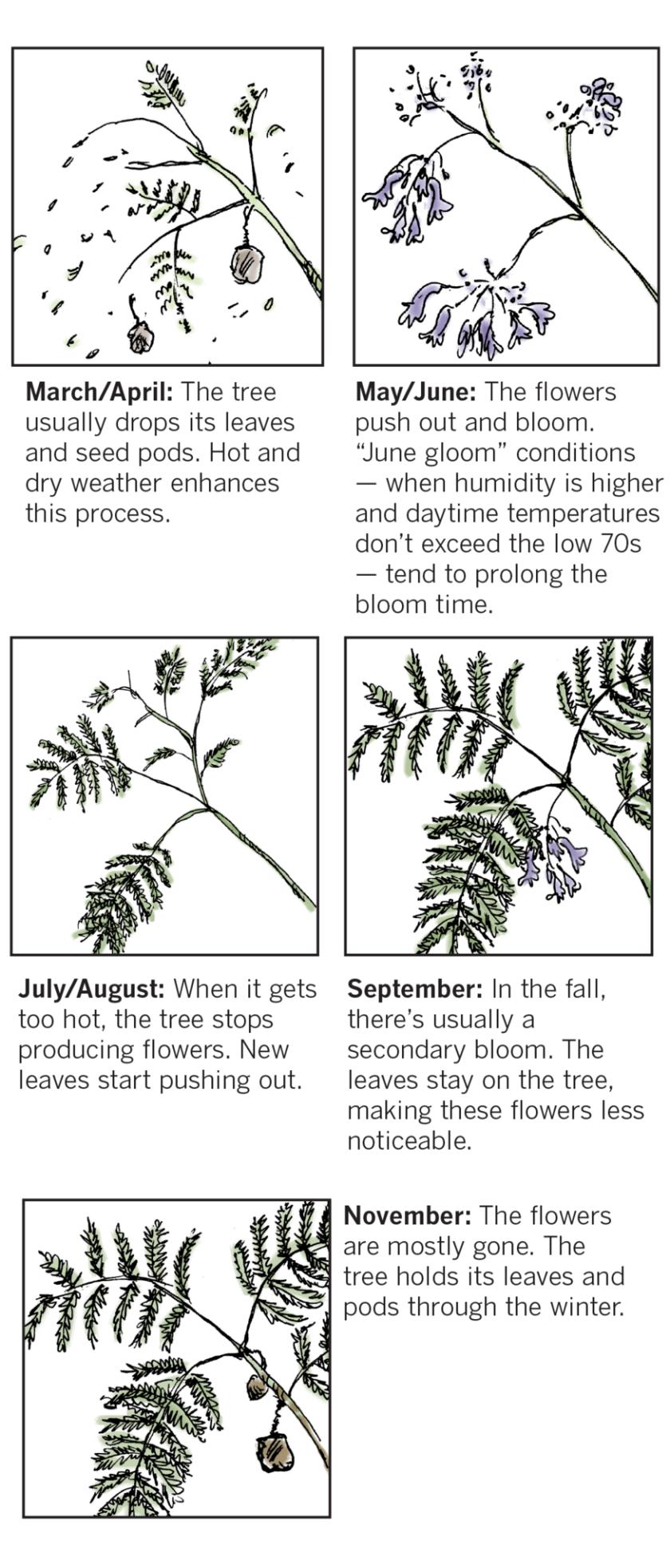 Jacaranda bloom cycle