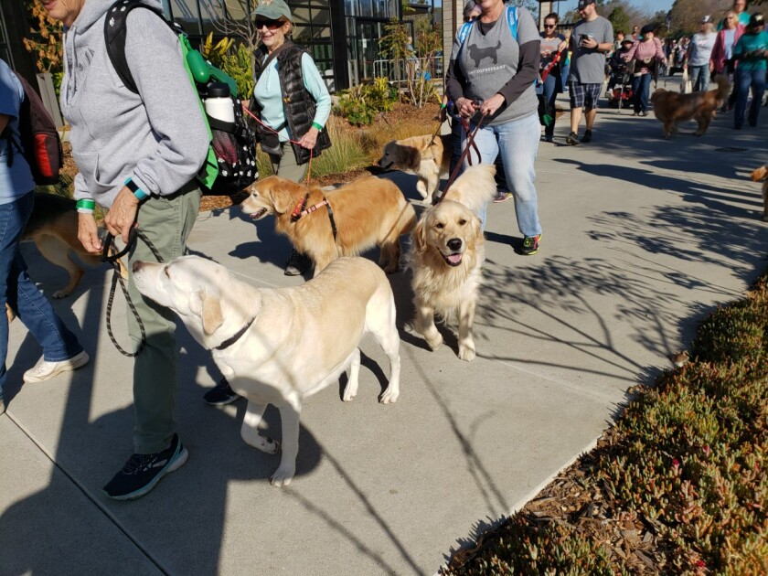"""More Than 550 walkers And their dogs participated in the 8th annual """"5K Paw Walk in the Garden."""" The event is the one day of the year when visitors can walk their dogs in the San Diego Botanic Garden. Along with pet products, food and displays, the walk included a Peanut Butter and Cream Cheese Challenge, where pets lick off peanut butter from a spoon held in the mouth of their pet owner. The first dog to clean the spoon is the winner. The event raised more than $20,000 to support the Rancho Coastal Humane Society and San Diego Botanic Garden. The event included the presentation of a proclamation naming February 15, 2020 """"5K Paw Walk in the Garden Day"""" throughout San Diego County. Pictured are Paw Walk participants."""