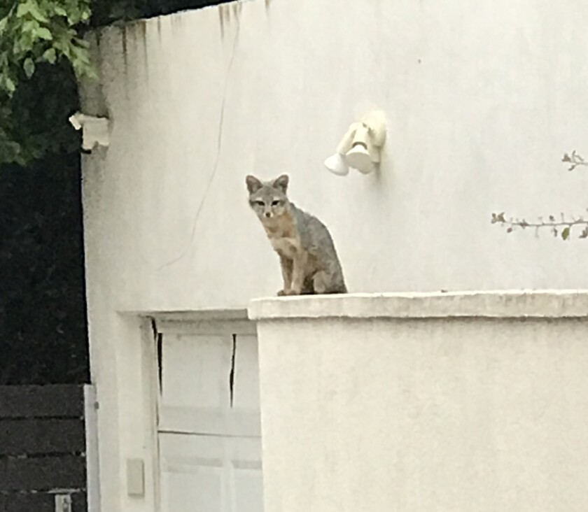 Foxes like this one, seen in La Jolla on June 21, have prompted social-media discussions about their behavior.