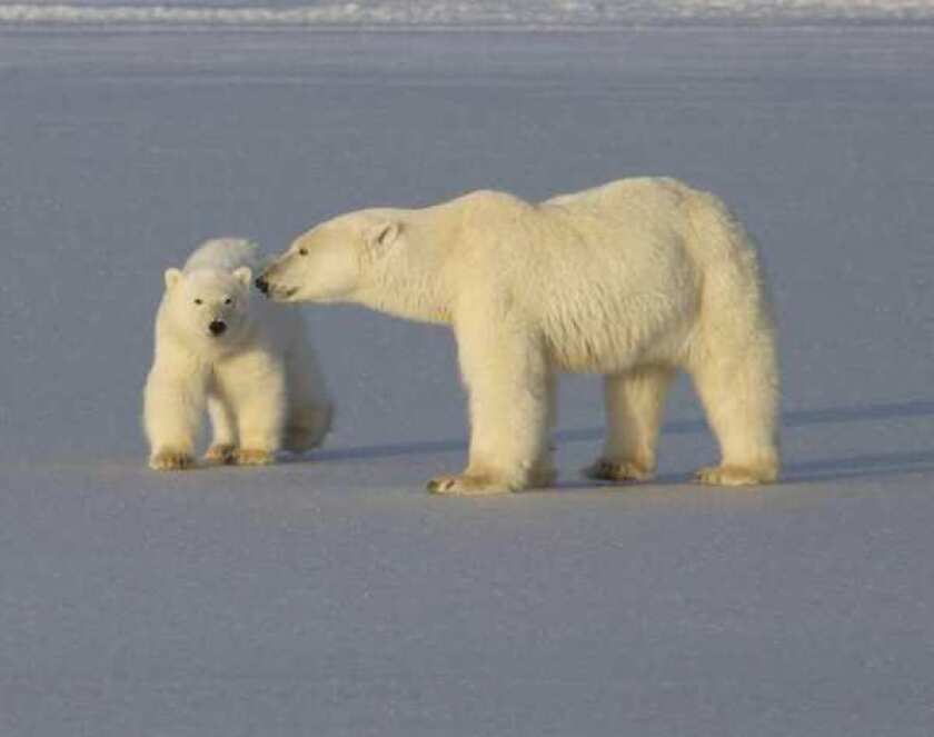 Polar bears an older species than we thought, scientists say
