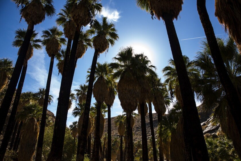 PALM SPRINGS, CALIF. - NOVEMBER 25: Palm trees line the path at Indian Canyons on Sunday, Nov. 25, 2