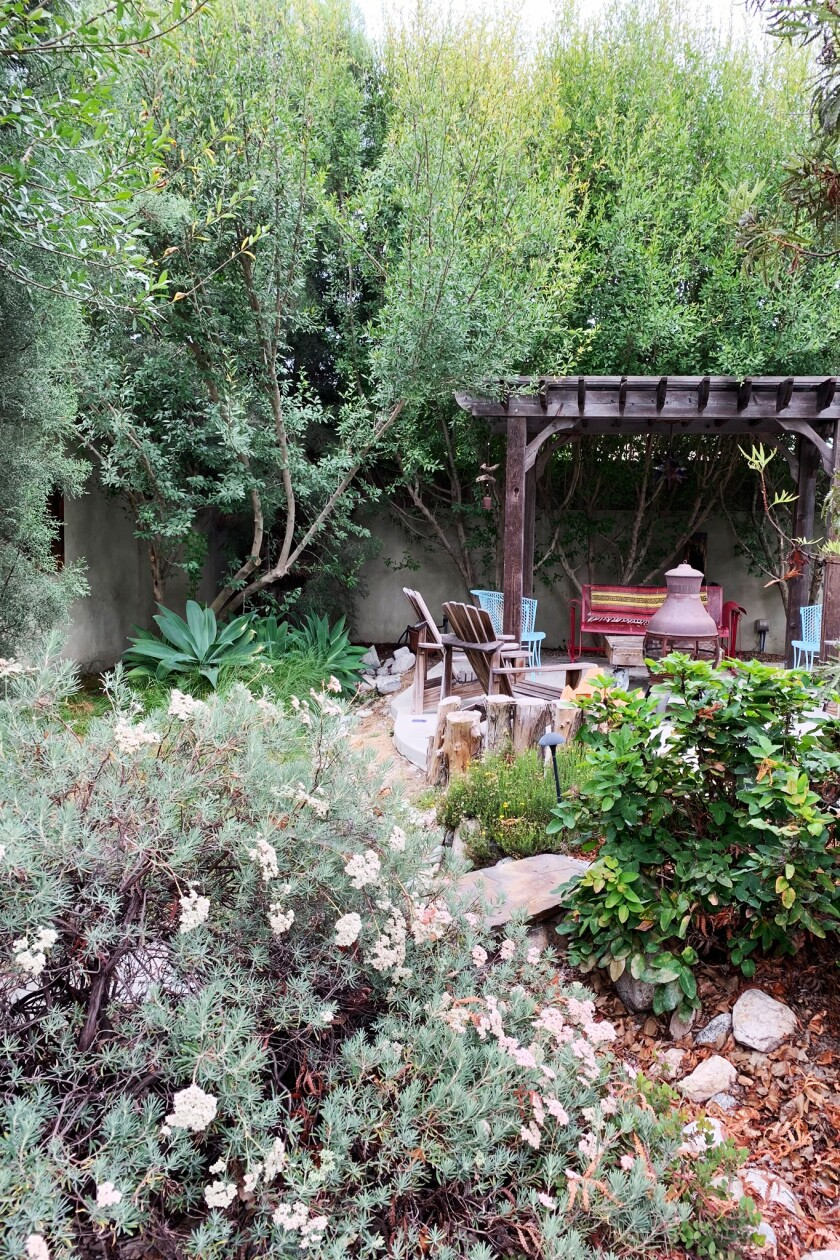 Buckwheat, with its silver-gray leaves, is among the California native plants you might spot during the Theodore Payne Foundation's online garden tours March 28 and 29.