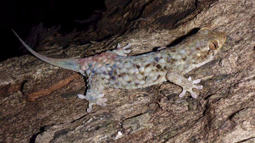 The newly discovered fish-scale gecko in Madagascar, Geckolepis megalepis, has the largest scales of any gecko in its genus, a new study finds.