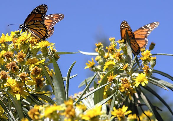 Millions of orange-and-black monarch butterflies travel from the United States and Canada each winter to reach a rural corner of Michoacan state in western Mexico.