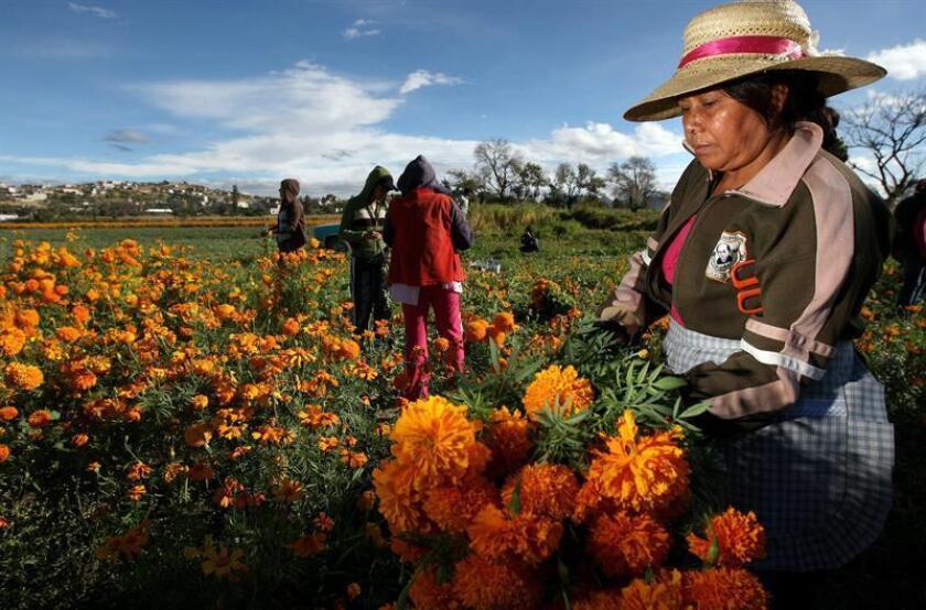 """Campesinos mexicanos del estado de Atlixco en el estado de Puebla cosechan la flor de Cempazúchitl con el propósito de convertirlas en ofrendas del """"Día de los Muertos"""" este 1 y 2 de Noviembre. EFE/Archivo"""