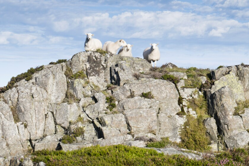 Group of four sheep on rock promontory;image taken from The Cambrian Way between the summit of Y Lethr, which is the highest point in the Rhinog mountains, and Cwm Bychan. August