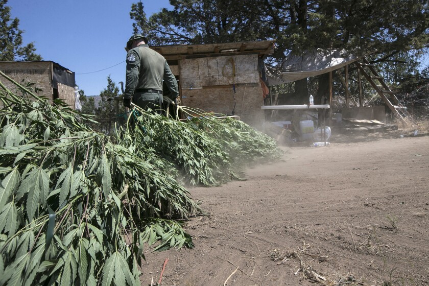 The Siskiyou County Sheriff Marijuana Eradication Team raids a pot farm on a Hmong-owned property near Dorris. These farms often feature makeshift shacks used for storage and living. This grow is owned by Hmong farmers.