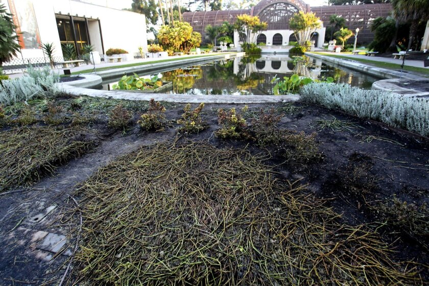 The iconic lily pond in Balboa Park was damaged by squirt gun toting revelers early Sunday Morning, leaving the ponds plants and fish damaged and in some cases dead.  By early Monday morning, crews had removed most of the debris left by the vandals. The recently planted south end of the lily pond w