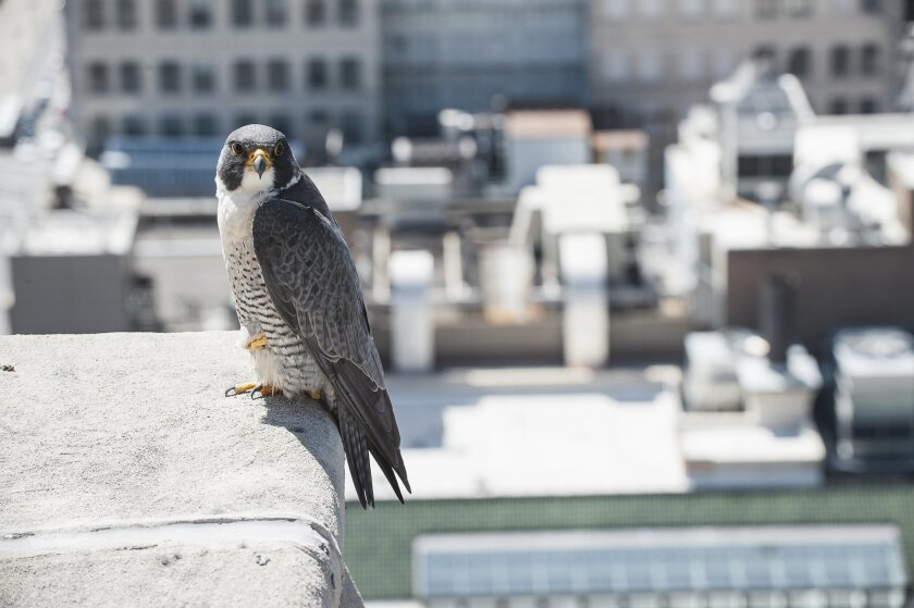"""A photograph featured in """"Wild LA: Explore the Amazing Nature in and Around Los Angeles"""" of a Peregrine Falcon perched on building ledge in the city."""