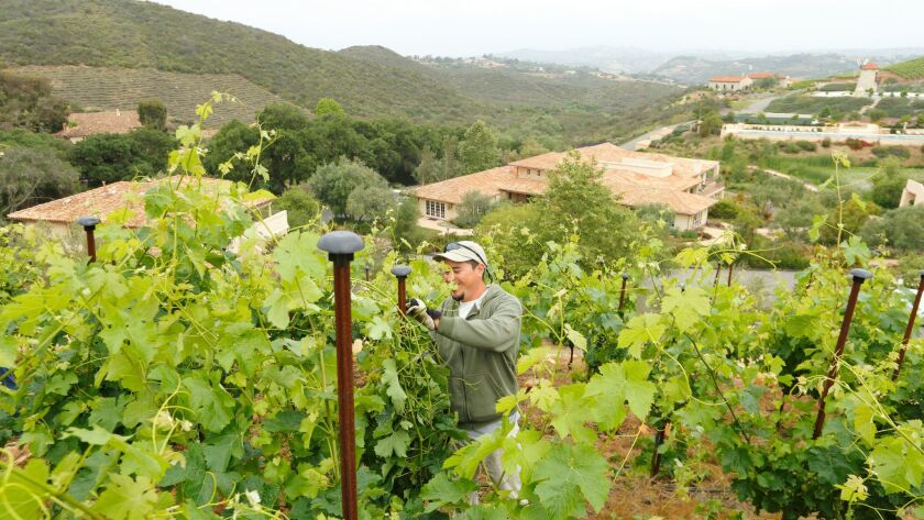 A worker tends to the vines on the property of Cal-a-Vie. In the distance, to the right, you can see