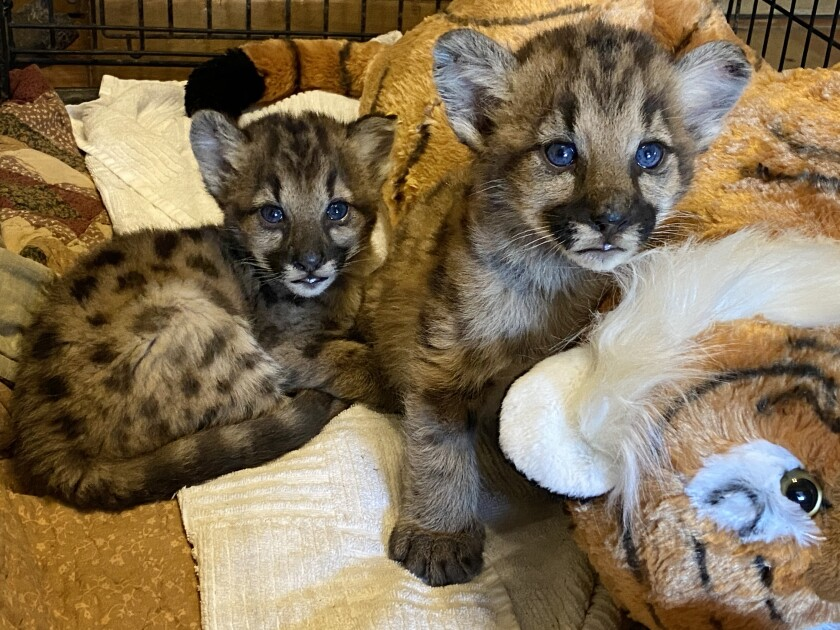 Two 3-week-old female and male mountain lion kittens, dubbed P-91 and P-92
