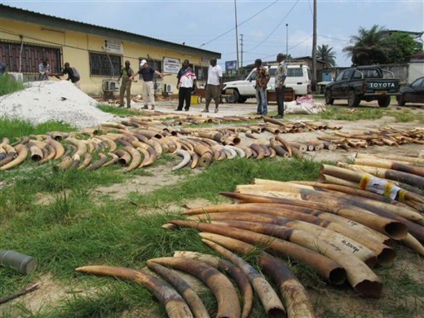 In this Sunday, April 1, 2012 photo released by WWF, workers sort and count elephant tusks as they do an inventory of ivory stocks as part of an effort to combat illegal ivory trafficking, in Libreville, Gabon. WWF said in a Friday, April 6, 2012 statement that the Central African nation of Gabon will burn its entire ivory stockpile in upcoming months. They also commended the West African nation of Cameroon for giving fines and prison terms to poachers. (AP Photo/WWF, Bas Huijbregts)