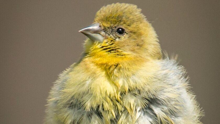 A cute little female lesser goldfinch all fluffed up after a dip in the birdbath.