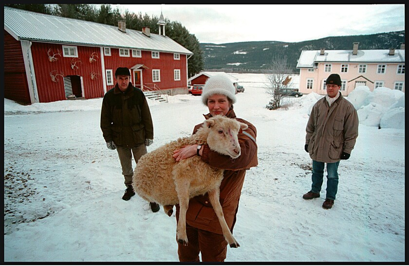 Norwegian sheep were last in the news more than a dozen years ago, when a resurgent wolf population killed hundreds, including 63 at Anne Ulvik's farm in Stor Elvdal County. Now, one lucky lamb will be coming to national fame as NRK television stages National Knitting Night on Nov. 1.