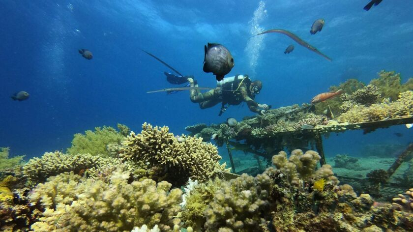 A Marine biologist inspects coral in the Red Sea.