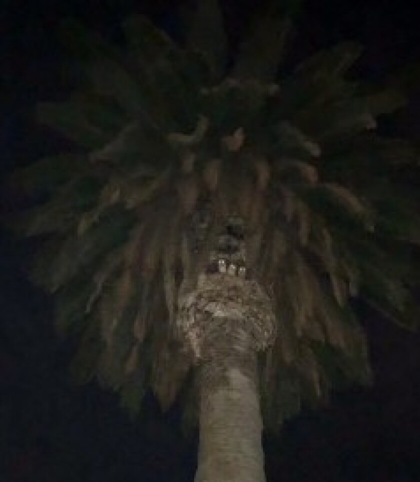 Three tiny barn owls were spotted in a tree on the La Jolla Recreation Center grounds.