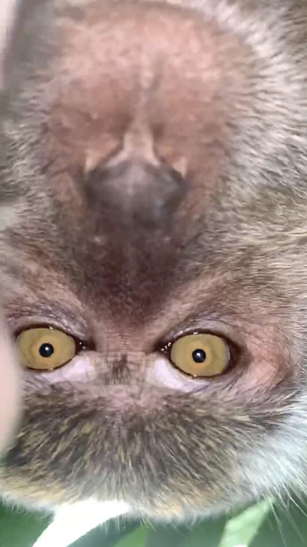 Esta foto proveída por Zackrydz Rodzi muestra a un mono que se tomó un selfie en Batu Pahat