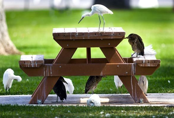Egrets and herons on a picnic table in Glenn County