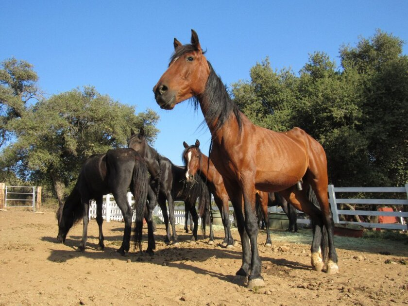 Rescued wild mustangs receive needed care at Horses of Tir Na Nog, a sanctuary in Guatay. The ranch is holding an open house on April 28.