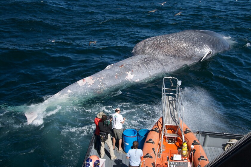 Researchers examine a dead blue whale killed in a collision with a ship.