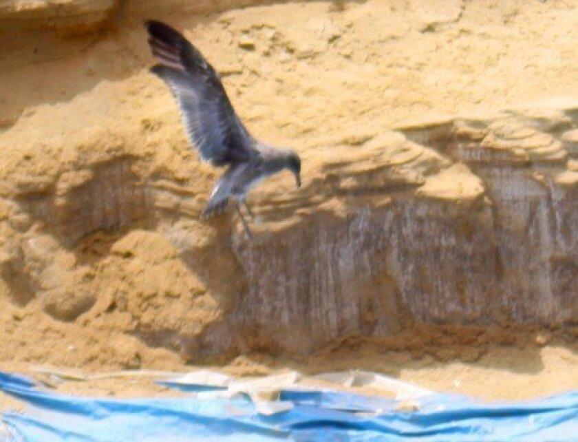 A photo of the Children's Pool seagull chick taken last week. Ashley Mackin