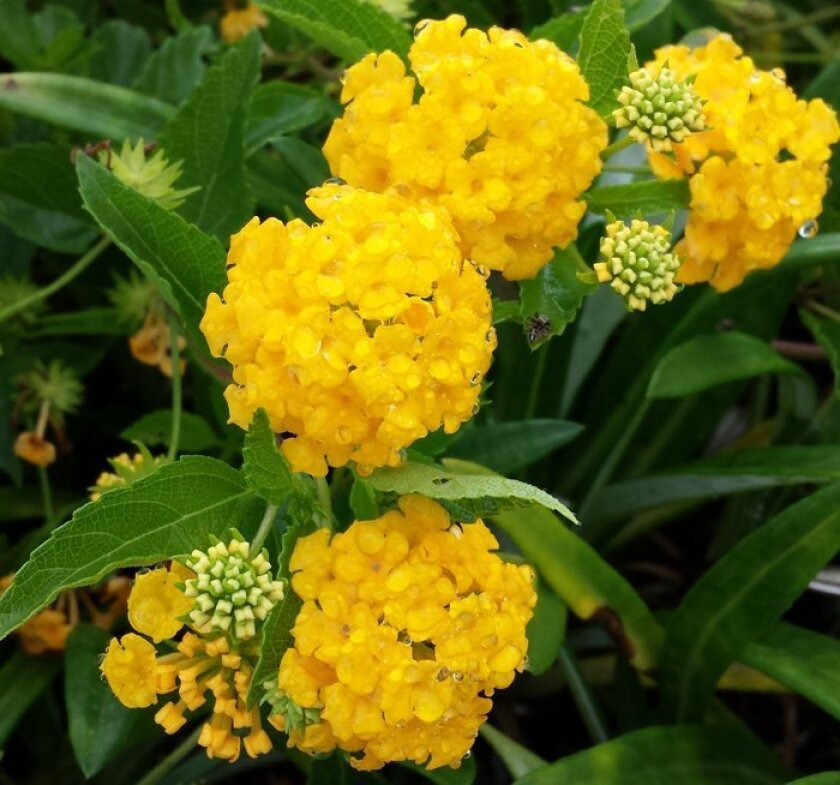 This trailing lantana has intensely bright yellow flowers.
