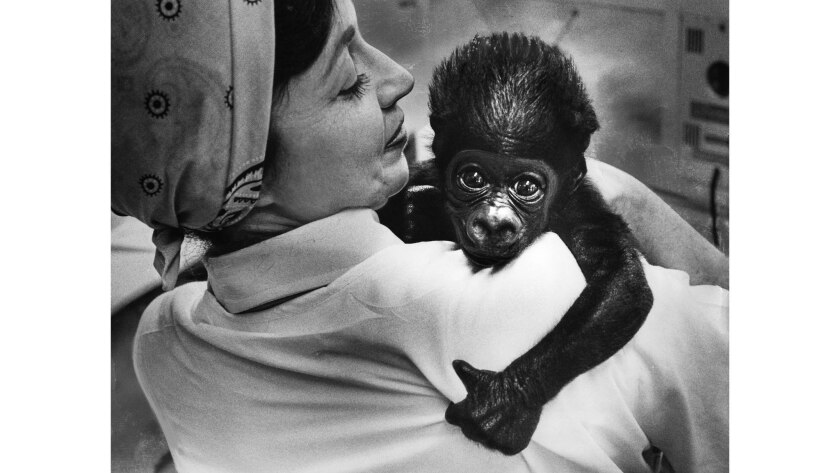 July 22, 1977: Caesar is burped by animal keeper Ann Harrell after polishing off a bottle of formula.