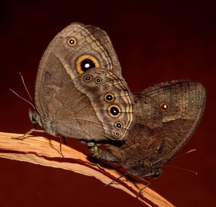 This undated handout photo provided by the journal Science shows Bicyclus anynana butterflies mating. Left: dry season female. Right: wet season male. The way male and female butterflies relate to one another as adults depends on how they grew up, sort of like people. Except in the case of the butterflies, it's not whether they had a happy youth that makes the difference, it's the actual weather they grew up in. (AP Photo/Science, William Piel & Antonia Monteiro)