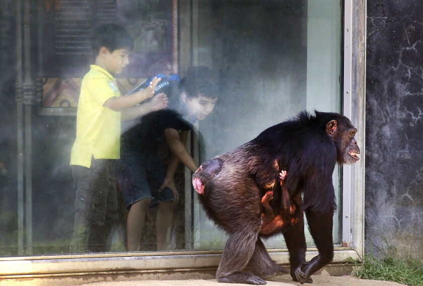 A few small changes in a key stretch of DNA could explain some of the differences between human and chimpanzee brains, a new study suggests. Here, school children lean in for a better look at chimpanzee Yoshi, carrying a 2-month old baby chimpanzee at the Los Angeles Zoo in 2012.