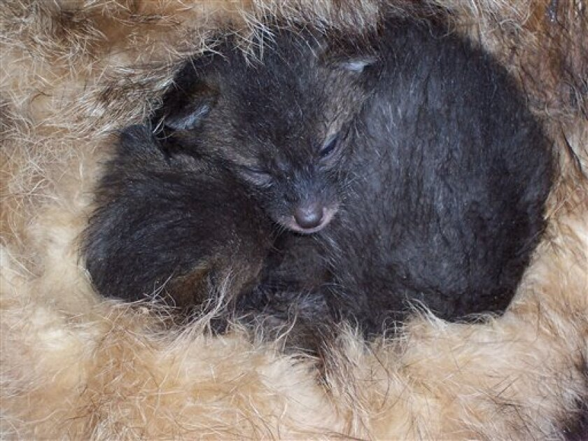 This photo released by the Humane Society of the United States shows two week-old grey fox sleeping in donated fur. (AP Photo/Humane Society of the United States)