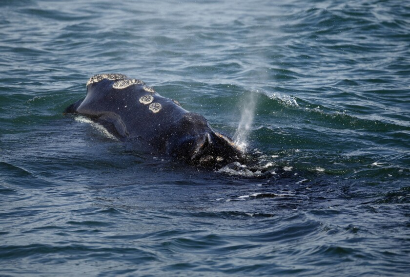 A North Atlantic right whale feeds on the surface of Cape Cod bay off the coast of Plymouth, Mass., on March 28, 2018.