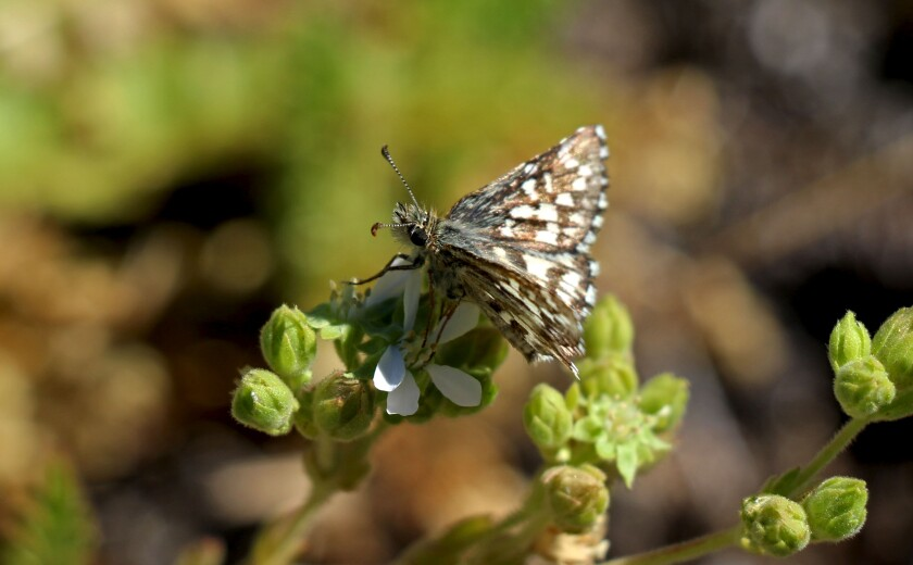 The Laguna Mountains Skipper, one of the rarest butterflies in San Diego County.