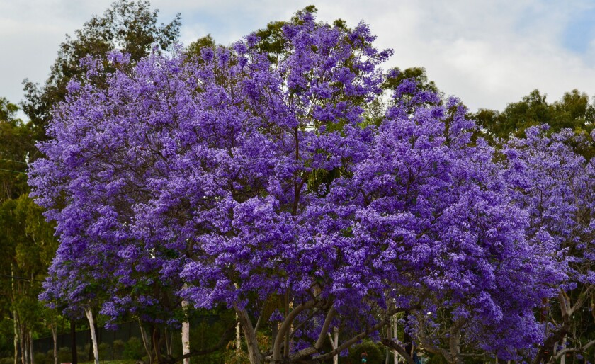 The jacaranda tree has fernlike leaves and generally blooms in mid- to late spring, with a profusion of purple blossoms.