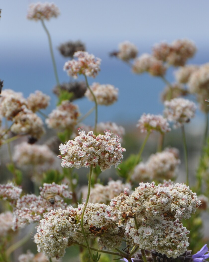 Clusters of light pink flowers on a hill overlooking the ocean