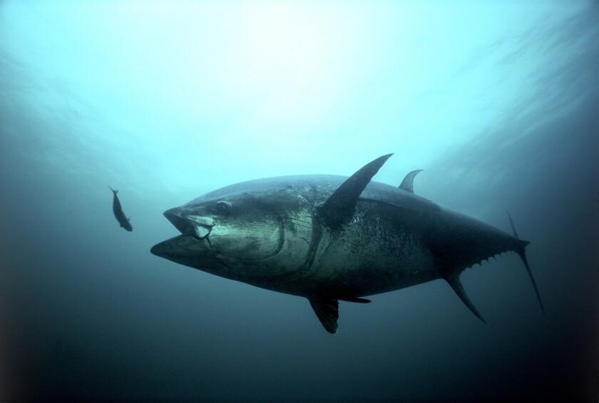 An Atlantic bluefin tuna.