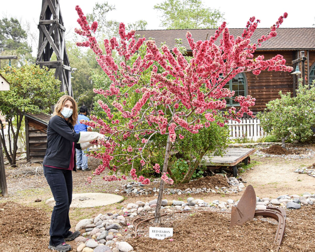 Kiwanian Liz Carlson trims a tree in Old Poway Park.