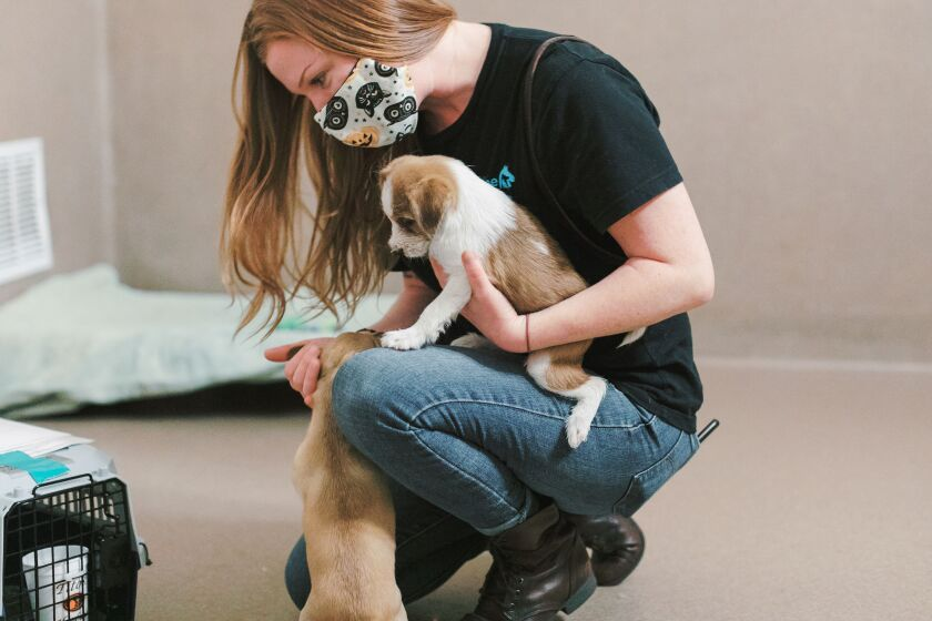 A worker plays with some puppies at the San Diego Humane Society.