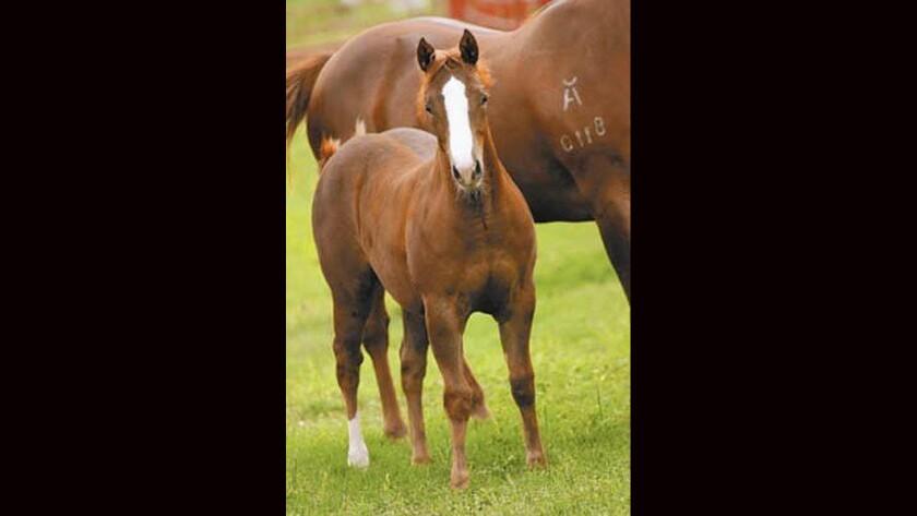 Cloned quarter horse