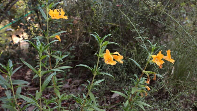 California Monkey Flowers bloom in the native plant garden at the home of Greg Rubin.