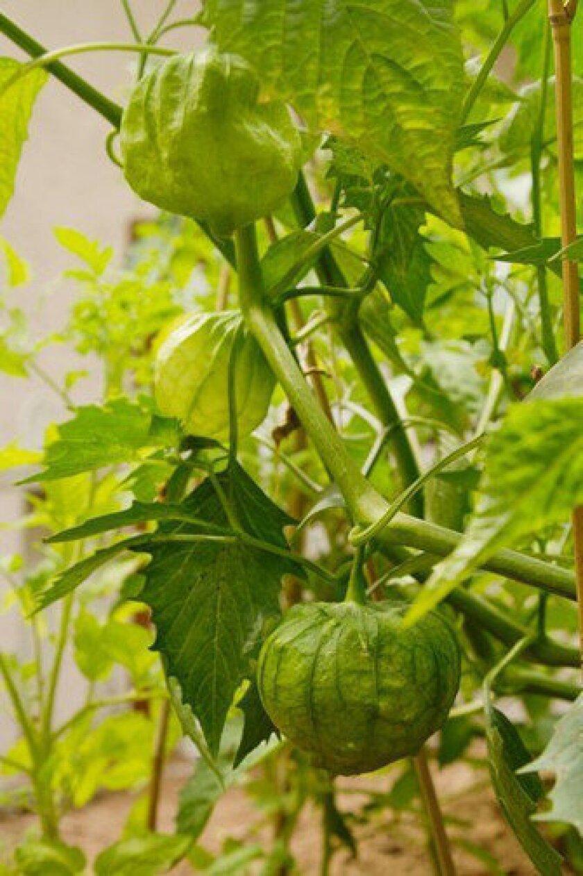Tomatillo plants grow in lantern-like husks.