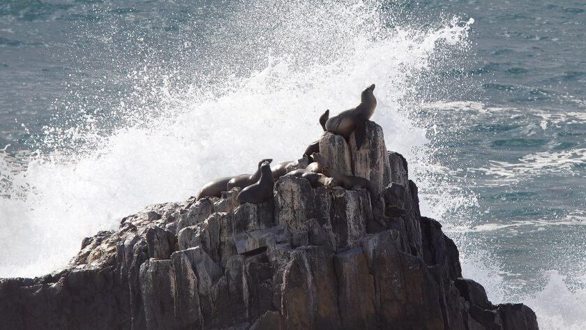 Sea lions climb to the highest point on seal rock near Crescent Bay during big swells last year. The Pacific Marine Mammal Center reports eight sea lions stricken with domoic acid poisoning have died.