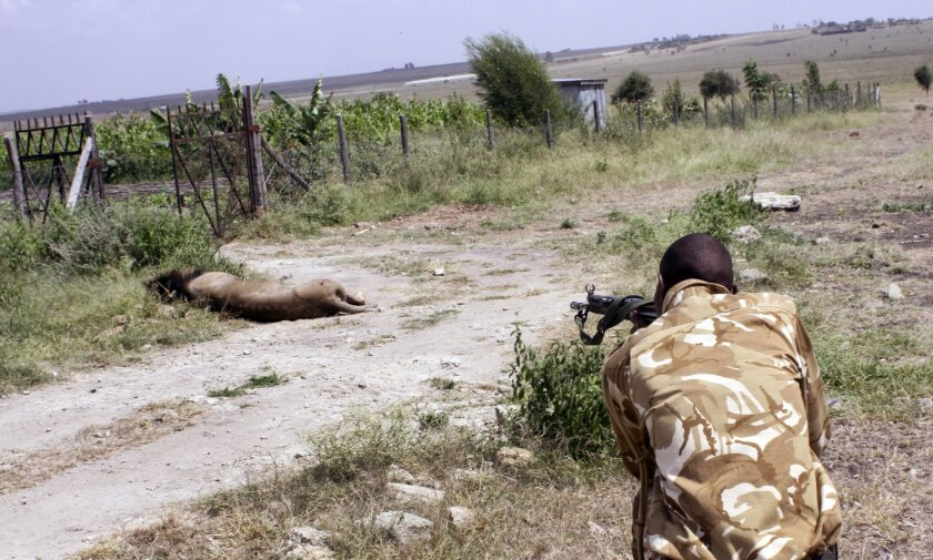 A ranger from the Kenya Wildlife Service shoots dead a male lion that had strayed from the Nairobi National Park, in Kajiado, Kenya Wednesday, March 30, 2016. A lion was shot dead in Kenya on Wednesday after attacking a man, while trackers in South Africa searched for a lion whose own escape from a park prompted appeals to wildlife officials to relocate it rather than kill it. The two cases of African lions on the loose highlight the difficult balance between protecting people and conserving lions, whose numbers have declined dramatically over the past century because of unregulated hunting, a loss of habitat and growing conflict with livestock herders. (AP Photo)