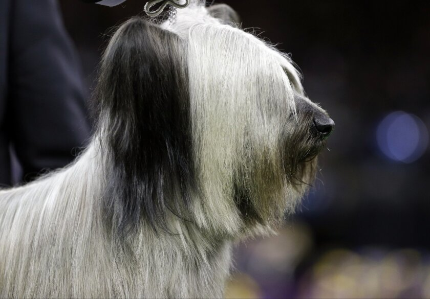 File-This Feb. 17, 2015, file photo shows Charlie, a Skye terrier being judged in the terrier group at the Westminster Kennel Club dog show in New York. Charlie the Skye terrier was second to retired Miss P the beagle for best in show last year will be one of the more than 2,700 dogs will be coming