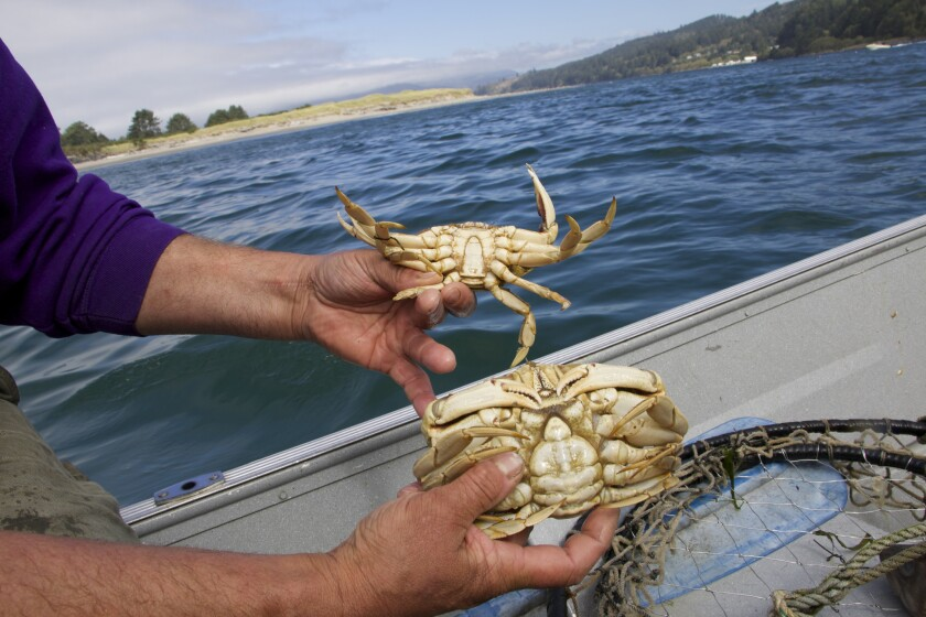 Daily catch of Dungeness crab in Nehalem Bay.