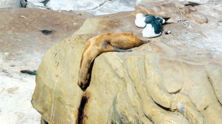 Dead-Sea-Lion-Dali-A-Copyright-www.LaJollaLight.com_