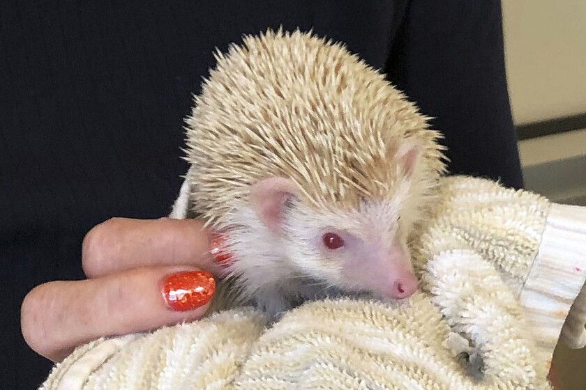 Albino Hedgehog Rescue